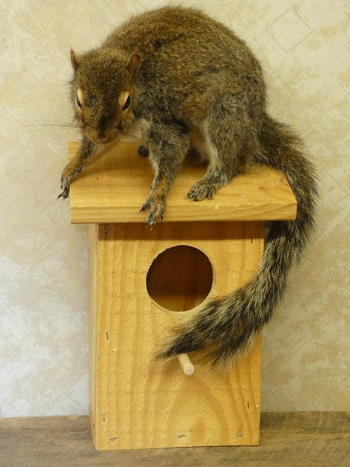 Grey Squirrel on BirdhouseTaxidermy