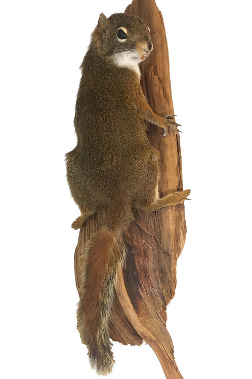 Pine Squirrel Taxidermy Mount For Sale