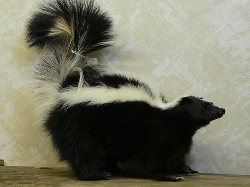 Skunk Standing Taxidermy