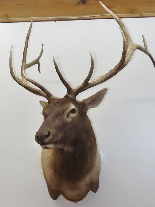Elk ShoulderMount