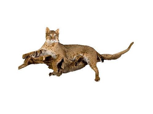 Bobcat Laying Taxidermy Mount