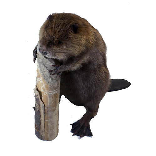 Standing Beaver Taxidermy Mount
