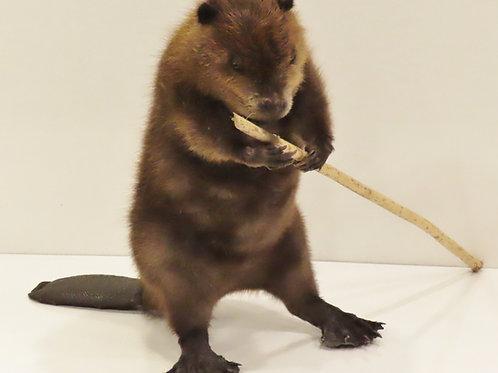 small beaver