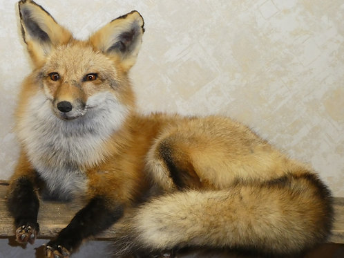 Red Fox Laying Taxidermy