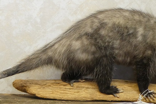 Opossum Walking on Driftwood Taxidermy