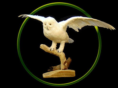 Faux Snow Owl Flying Taxidermy Mount
