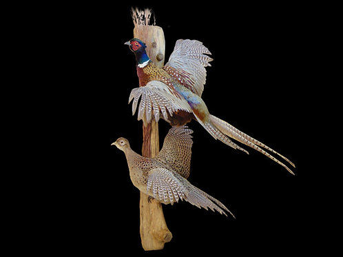 Ring-necked Pheasant Pair Flying Taxidermy Mount