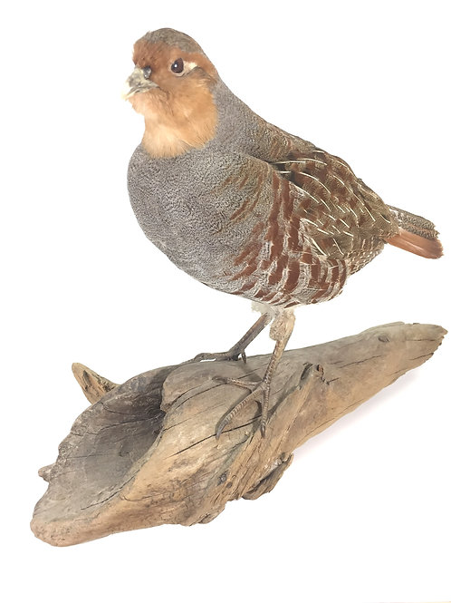 Hungarian Partridge Taxidermy Mount For Sale
