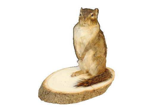 Standing Chipmunk Taxidermy Mount For Sale