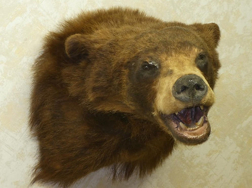 Black Bear Shoulder Mount Taxidermy For Sale