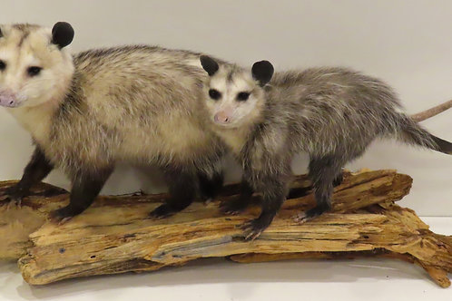 Double Opossum