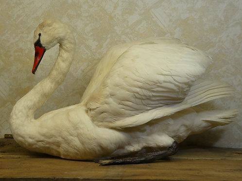 Swimming Swan Taxidermy