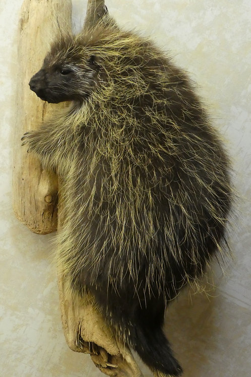 Porcupine on Driftwood Climbing Taxidermy