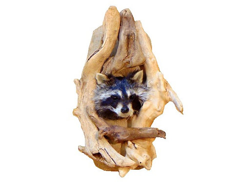 Peeping Raccoon - Single Taxidermy Mount