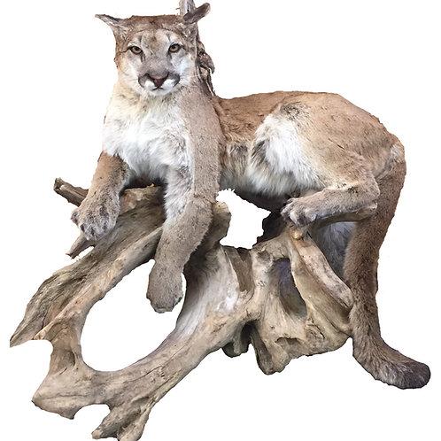 Life Size Mountain Lion Taxidermy Mount For Sale