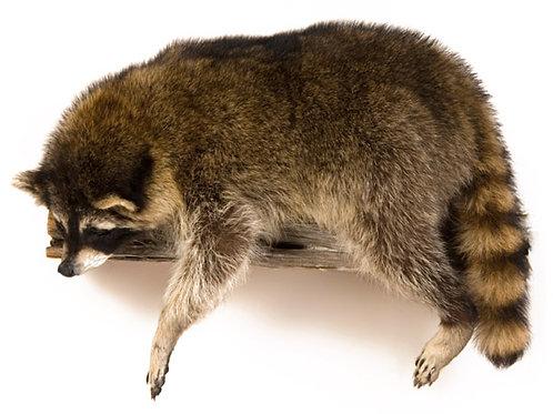 Single Laying Raccoon Taxidermy Wall Mount