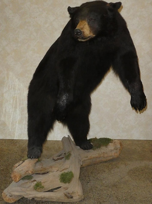 Large Life size Black Bear Taxidermy Mount on Driftwood
