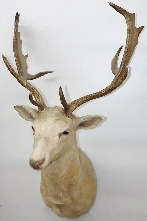Fallow Deer Shoulder Mount
