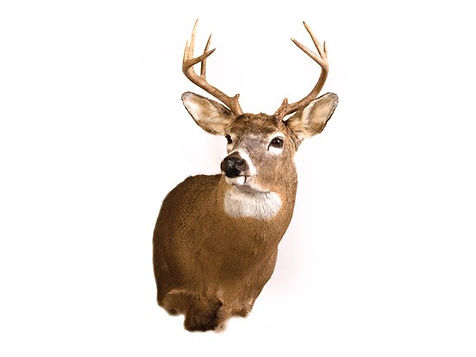 Large Game Taxidermy Mounts