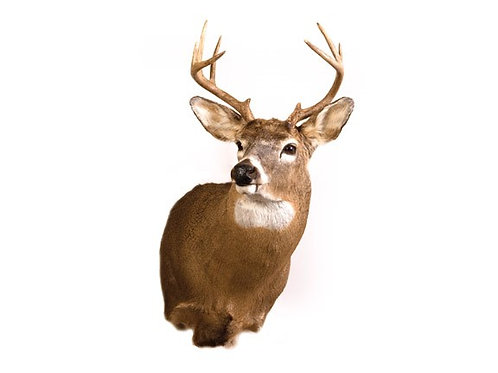 Small Whitetail Deer Buck Taxidermy Shoulder Mount For Sale