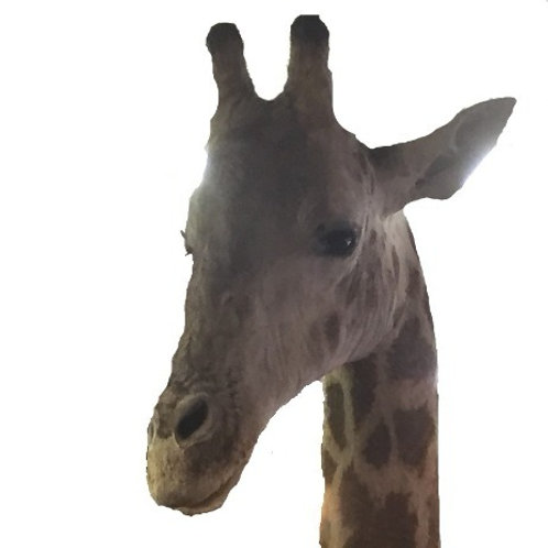 Giraffe Shoulder Mount
