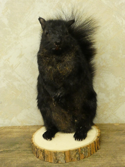Standing Black Squirrel