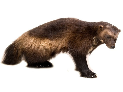 Standing Life Size Wolverine Taxidermy Mount