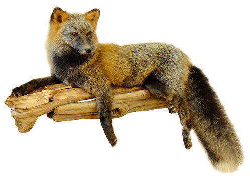 Laying Silver and Red Cross Fox Taxidermy Mount