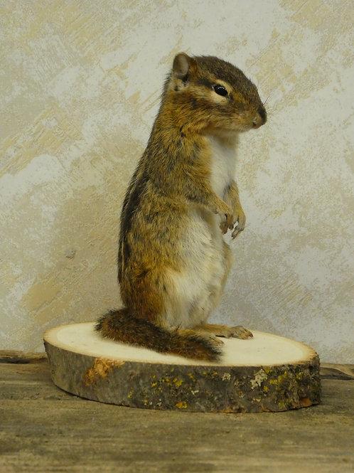 Standing Chipmunk Taxidermy