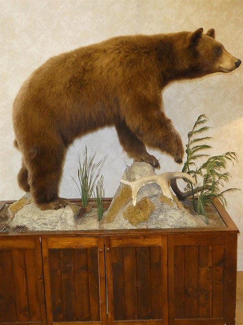 Cinnamon Phase Black Bear Life Size Taxidermy Mount