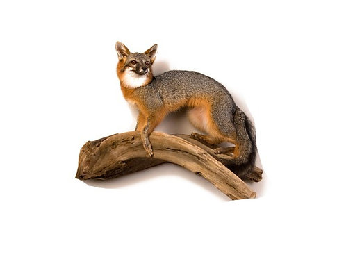 Standing Grey Fox Taxidermy Wall Mount For Sale