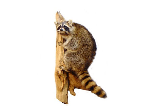 Climbing Raccoon Taxidermy Mount For Sale