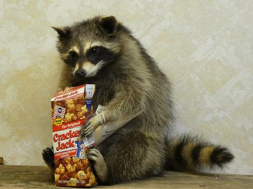 Snackin' Cracker Jack Raccoon Taxidermy