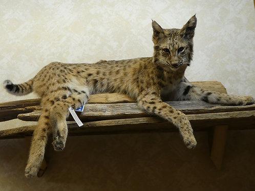 Laying Bobcat on Driftwood
