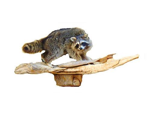 Wall Mount Walking Raccoon taxidermy Mount For Sale