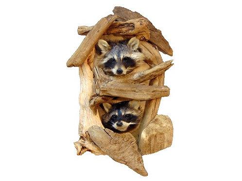 Peeping Raccoon - Double Taxidermy Mount