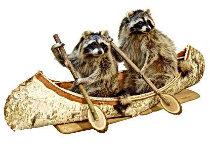 canoeing-raccoon-pair.jpg