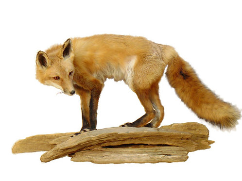 Standing Life Size Red Fox Taxidermy Mount For Sale