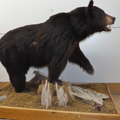 Large Standing Black Bear