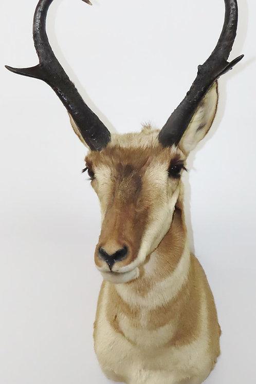 Pronghorn American Antelope Shoulder Mount1095