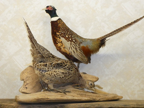 Ringneck Pheasant Pair of Male and Female Taxidermy