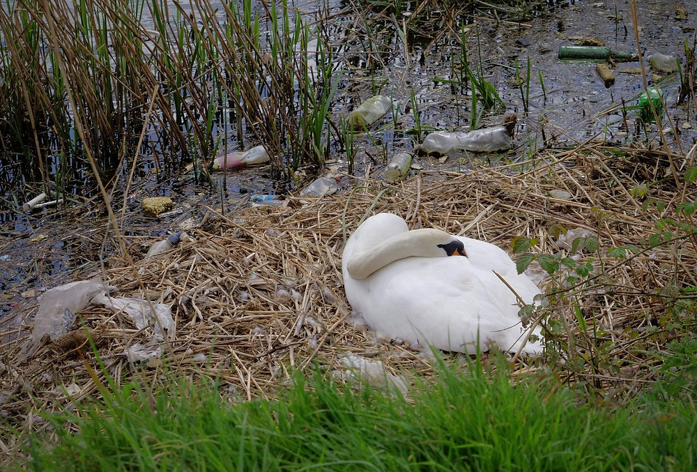 Swan nest surrounded by rubbish