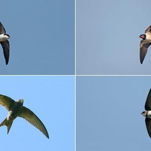 SWALLOWS VS SWIFTS