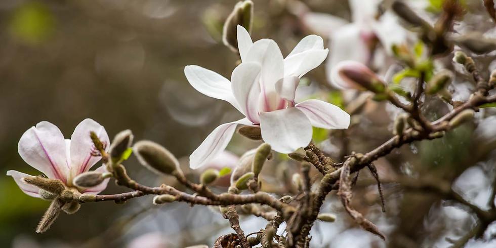 Magnolia Moving Meditation