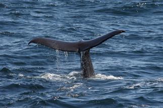 Sperm whale tail