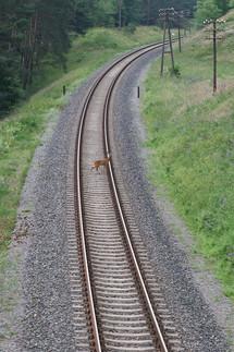 Deer crossing train track