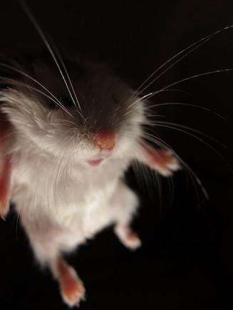 Hovering hamster