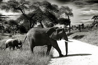 animals-black-and-white-elephants-37861.