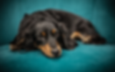 shiny_coat_dog.png
