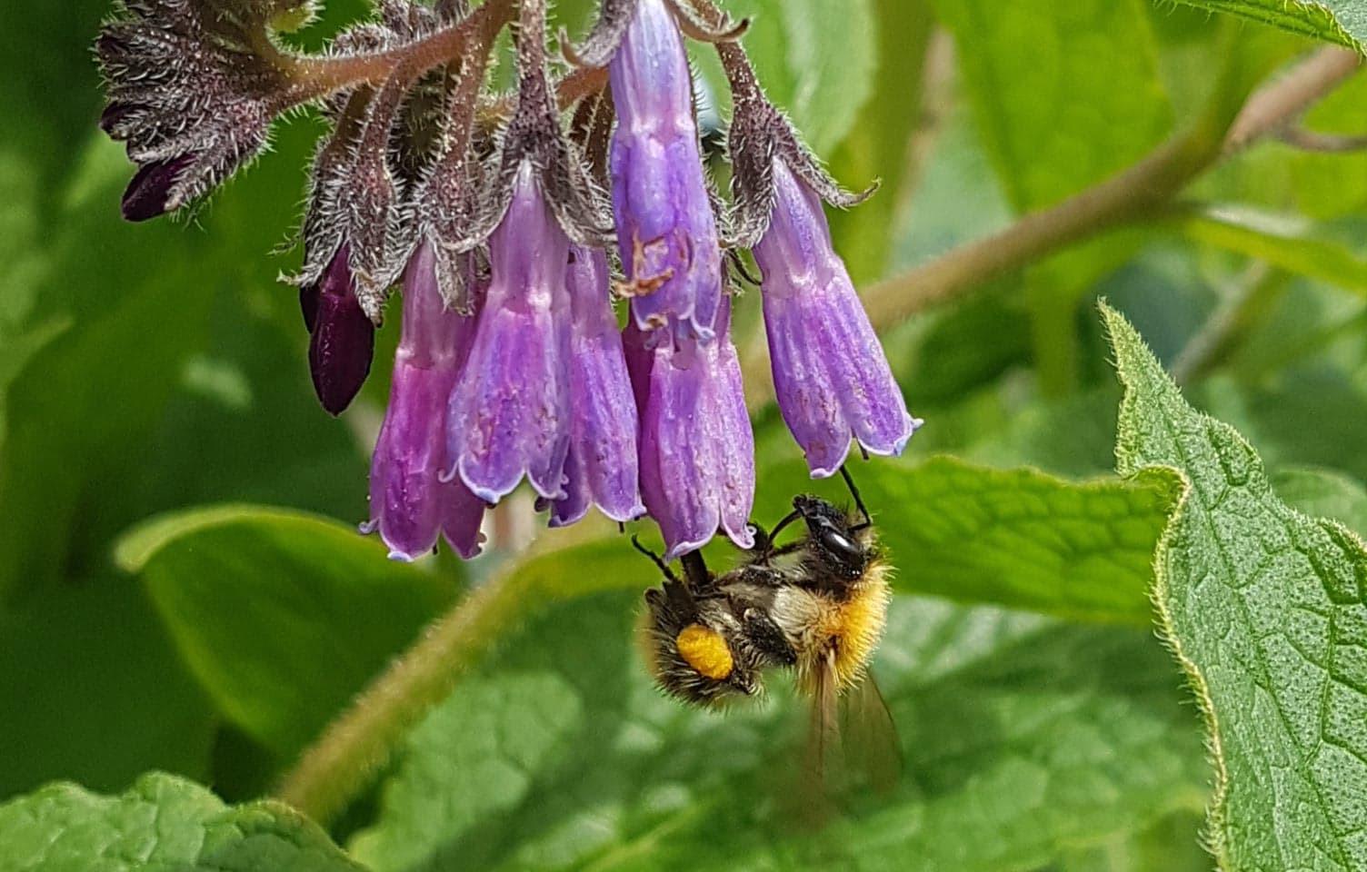 Borage and bee.jpg